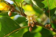 Spanish cherry flower Stock Image