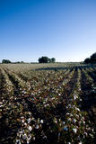 Spanish Cotton Plant Field. Wide angle shot of andalusian cotton plants in late summer Royalty Free Stock Image
