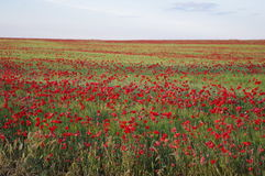 Spanish countryside. With blossoming poppies Stock Image