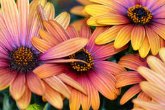 The Spanish Daisies come in many colors Stock Images
