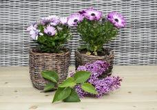 Spanish daisy flowers on rattan background Royalty Free Stock Photos