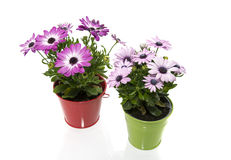 Spanish daisy flowers in red and green bucket Stock Images