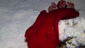 Spanish dancer Hexabranchus sanguineus in Red sea stock video