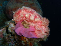 Spanish Dancer Laying Eggs Stock Images