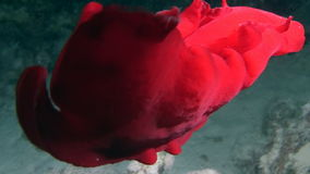 Spanish dancer nudibranchs underwater in search of food in Red sea. Swimming in world of colorful beautiful wildlife of reefs and algae. Inhabitants in search stock video