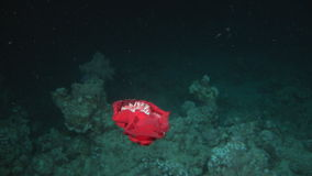 Spanish dancer nudibranchs underwater in search of food in Red sea. Swimming in world of colorful beautiful wildlife of reefs and algae. Inhabitants on bottom stock footage