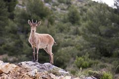 Spanish deer. Curious deer is looking at us, in a mountain near of nerpio, spain stock image