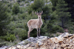 Spanish deer stock photo