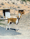 Spanish dogs with special doghouses. Two spanish dogs in front of their special doghouses: wooden cable drums Stock Images