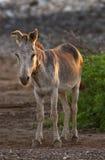 Spanish Donkey Stock Images