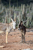 Spanish donkey Royalty Free Stock Photography