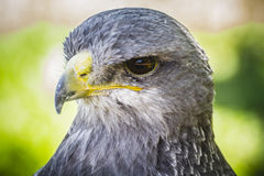 Spanish falcon in a medieval fair raptors Stock Photos