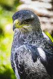 Spanish falcon in a medieval fair raptors Stock Photography