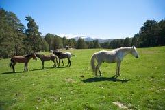 Spanish family horses Stock Images