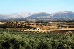 Spanish farmland, Andalusia. View across olive groves with mountains to the rear, Between Iznajar and Archidona, Malaga Province, Andalusia, Spain, Western Royalty Free Stock Photos