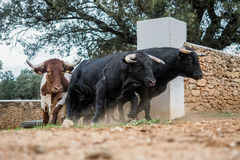 Spanish fighting bulls running. Stampede of spanish fighting bulls Royalty Free Stock Photography