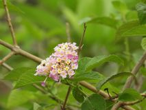 Spanish flag flower. Lantana camara also called as Spanish flag flower, west indian lantana, weeping lantana, wild sage, cloth of gold, hedge flower Royalty Free Stock Image