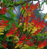 Spanish Flag flowers. Spanish Flag, Mina Lobata, flowers blooming on the vine Stock Image