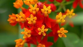 Spanish flower variation macro close up stock video