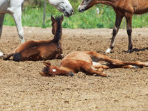 Spanish foals at the rest. Focus on sleeping foal Royalty Free Stock Image