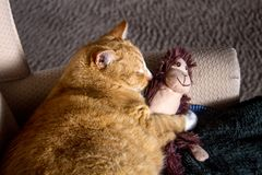 Orange cat cuddling with adorable sock monkey Stock Photos