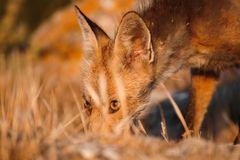 Spanish fox Vulpes vulpes stock image