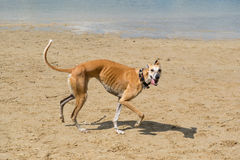 Spanish Galgo in bad condition Royalty Free Stock Photos