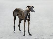 Spanish Galgo dog Stock Images