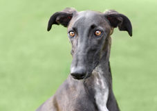 Spanish Galgo dog Stock Photos