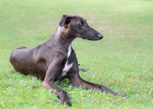 Spanish Galgo dog Stock Image