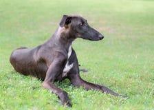 Spanish Galgo dog Stock Image