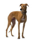 Spanish galgo in front of a white background Royalty Free Stock Images