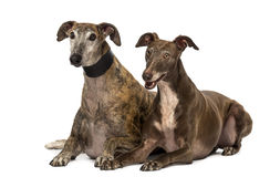 Spanish galgos lying on the floor, Stock Images