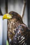 Spanish golden eagle in a medieval fair raptors Stock Image