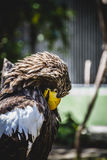 Spanish golden eagle in a medieval fair raptors Royalty Free Stock Photo