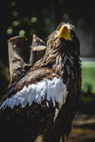 Spanish golden eagle in a medieval fair raptors Stock Images