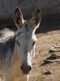 Spanish gray donkey Stock Images