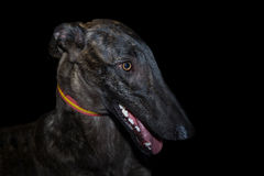 Spanish greyhound Royalty Free Stock Photo