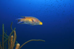 Spanish Hogfish (Bodianus rufus). Swimming over a coral reef Royalty Free Stock Image