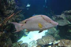 Spanish hogfish Royalty Free Stock Photos