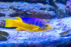 Spanish Hogfish. A Spanish Hogfish swimming at the bottom of a reef royalty free stock images