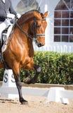 Spanish Horse Royalty Free Stock Images