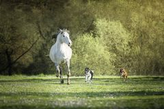 Spanish horse, Border Collie and Boxer dogs playing together in a meadow stock photos