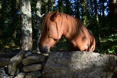 Wild spanish horse in a forest behind a stone wall. Brown horse, trees and bushes. Sun light with shadows. Autumn, Galicia, Spain. Spanish horse in a forest stock image