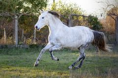 Spanish horse galloping in a field stock photos