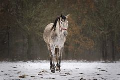 Spanish horse in the snow in a field stock photography