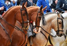 Spanish horse in spectacle. Beautiful spanish horse in spectacle in spain Royalty Free Stock Photos
