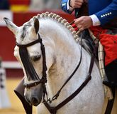 Spanish horse in spectacle. Beautiful spanish horse in spectacle in spain Stock Photos