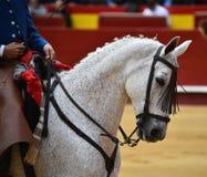 Spanish horse in spectacle. Beautiful spanish horse in spectacle in spain Stock Image
