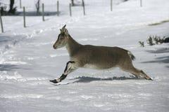 Spanish or Iberian ibex, Capra pyrenaica Royalty Free Stock Photo
